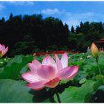 平川・猿賀公園の蓮の花