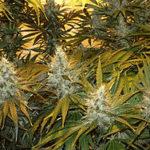 医療用大麻 タイで解禁